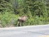 Pet Moose