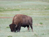 Bison grazing at the entrance