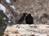 California Condor conversation