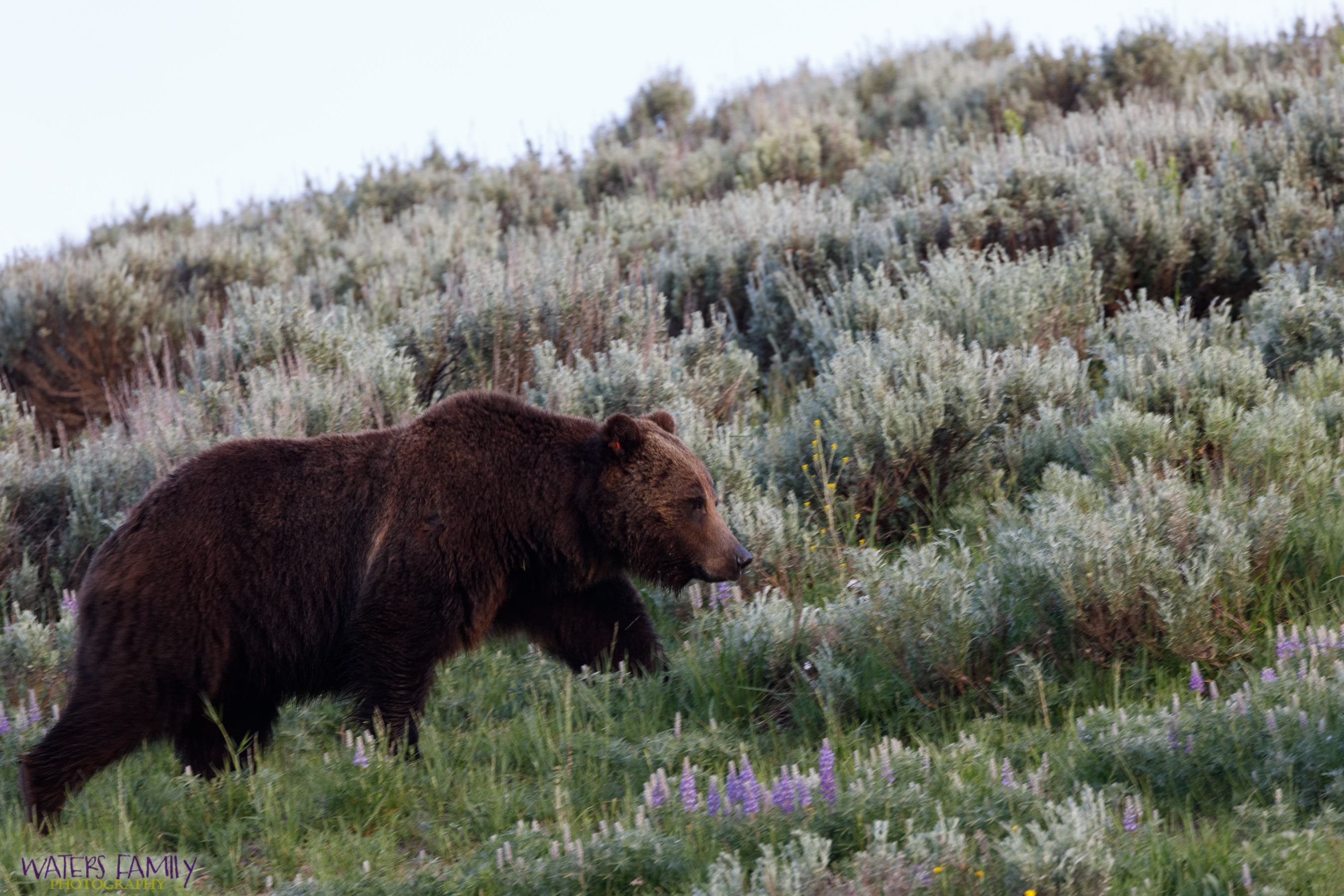 Grizzly Stroll