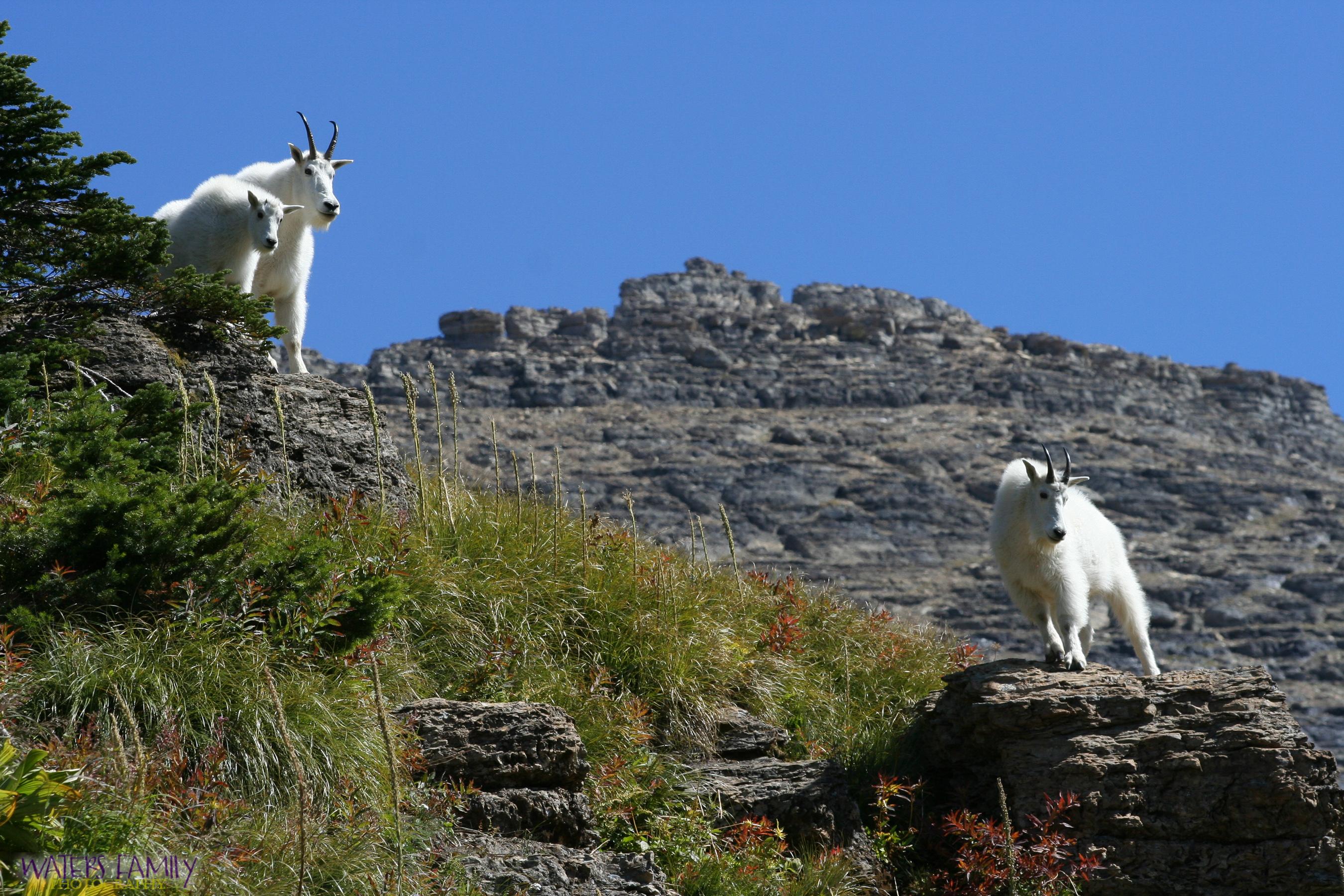 Billy Goat's Gruff