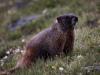 Marmot Watch